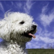 White bichon frise wallpaper picture.PNG