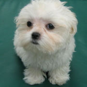 Young bichon frise maltese puppy.PNG