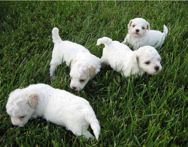 Young bichon frise pets playing on the grass.PNG