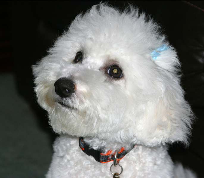 Young Bichon Frise Puppy Face Image.PNG