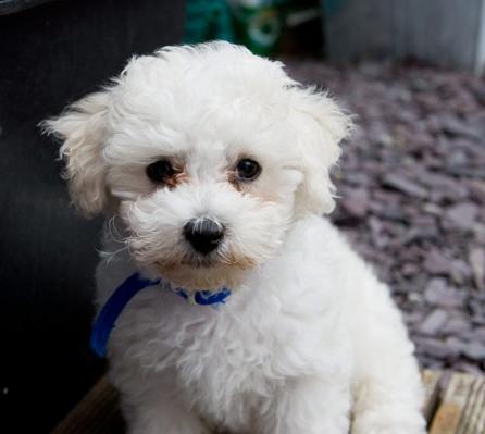 White Dog Breeds Bichon Frise Png