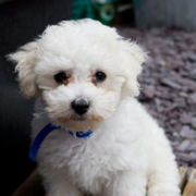 White dog breeds bichon frise.PNG