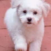 White hairy Bichon Frise puppy on running.PNG