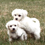 White purebred bichon frise puppies picture.PNG