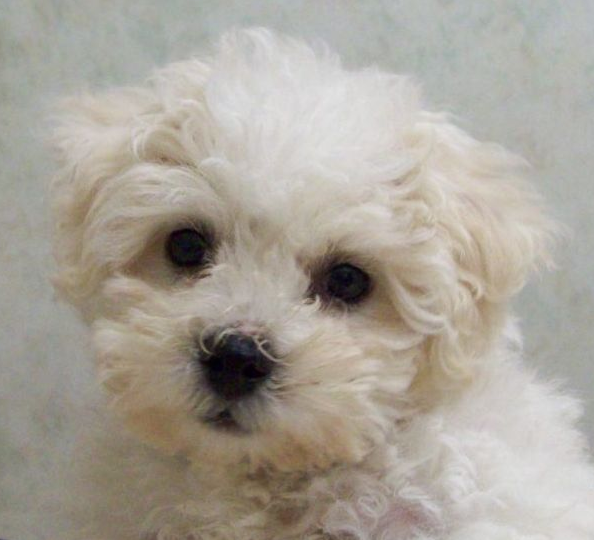 Young Bichon Frise Dog Puppy Photos.PNG