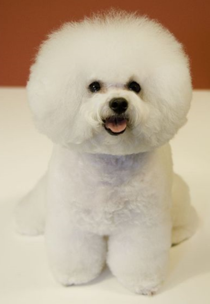 Young Bichon Frise French puppy picture looking beautiful.PNG