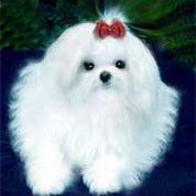 maltese puppy with long hair.jpg