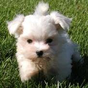 maltese puppy_ running on the grass.jpg