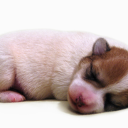 Young jack russell bichon frise puppy in deep sleep looking so cute.PNG