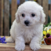 Young purebred bichon frise puppy pictures in white.PNG