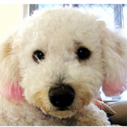 Yuki Bichon Frise Puppy close up picture of dog face.PNG