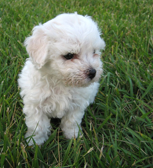 Young Bichon Frise Puppy on the grass.PNG