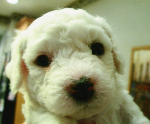 Young Bichon Frise Puppy.PNG
