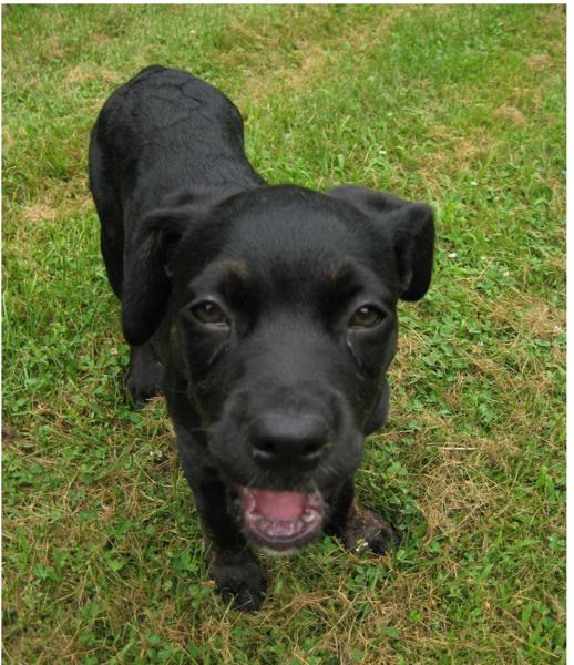 black boxador dog puppy in black imags png hi res 720p hd. Black Bedroom Furniture Sets. Home Design Ideas