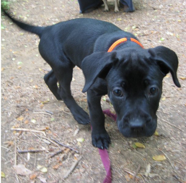 Black Boxador puppy playing outdoor.PNG