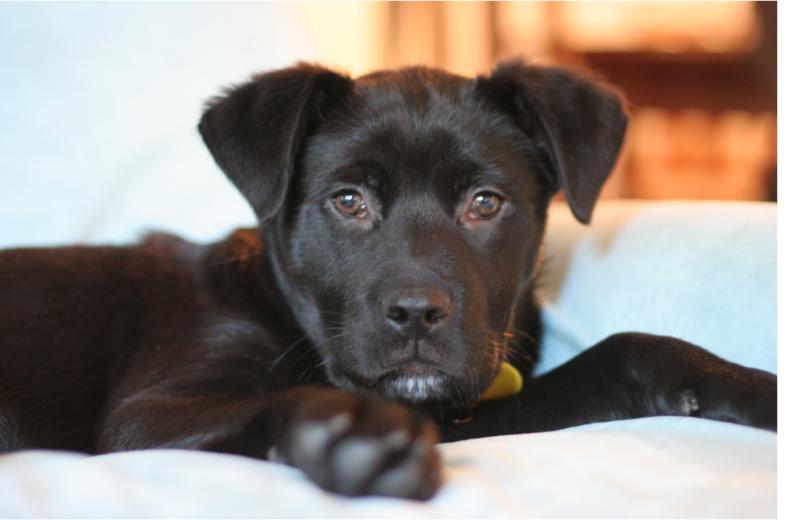 boxador puppies picture png hi res 720p hd. Black Bedroom Furniture Sets. Home Design Ideas