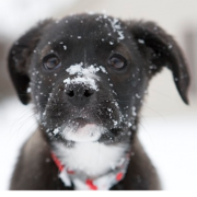 Boxador puppy in black with white at the neck covered with snow.PNG