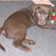 Brown boxador puppy picture playing with its toy.PNG