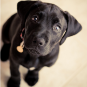 Picture of a black Boxador puppy looking up to the camera.PNG
