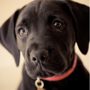 Beautiful puppy picture of a cute black boxador pup.PNG