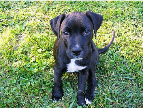 boxador puppy photos png. Black Bedroom Furniture Sets. Home Design Ideas