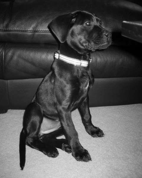 Pretty dog picture of a black boxador puppy.PNG