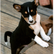 Standing up Basenji puppy images in white and black.PNG