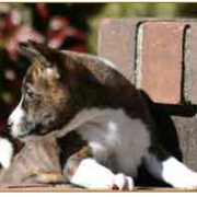 Basenji dog puppy picture.PNG