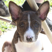 Basenji puppy face photo looking straight to the camera.PNG