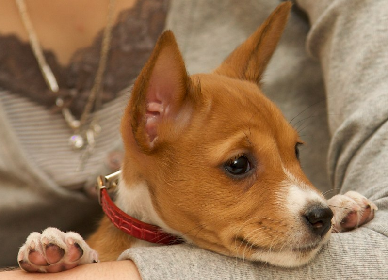 Basenji puppy face pictures.PNG
