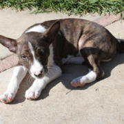 Basenji puppy image in three tones.PNG