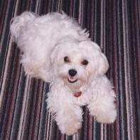 maltese puppy_white.jpg