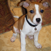 Basenji puppy in tan and white.PNG