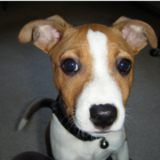 Basenji puppy photo.PNG