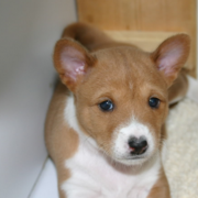 Basenji puppy picture.PNG