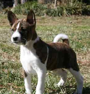 Beautiful Basenji puppy dog image.PNG