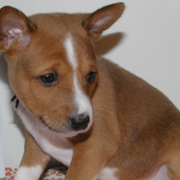 Beautiful tan and white Basenji puppy image.PNG