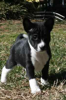 Black And White Basenji Puppy Dog Photo Png 1 Comment