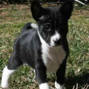 Black and white Basenji puppy dog photo.PNG