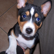 Dogn Basenji puppy photos.PNG