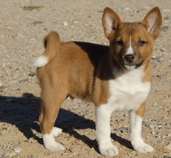 Image of Basenji puppy dog in white and tan.PNG