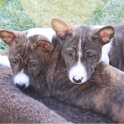 Mixed Basenji puppies picture.PNG