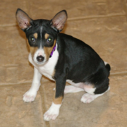 Mixed Basenji puppy in black with tand and white colros.PNG