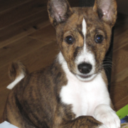 Picture of Basenji puppy in three tones.PNG