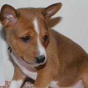 Pictures of Basenji puppy in tan ans white.PNG