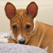 Tan and white Basenji puppy photos.PNG