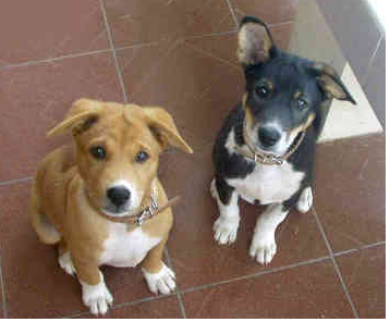 Two cute Basenji puppies looking up straight to the camera.PNG