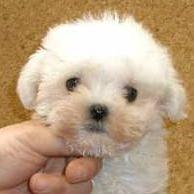 maltese very young puppy face.jpg