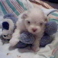 maltese very young puppy.jpg