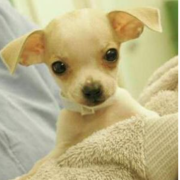 Chihuahua Puppies Picture